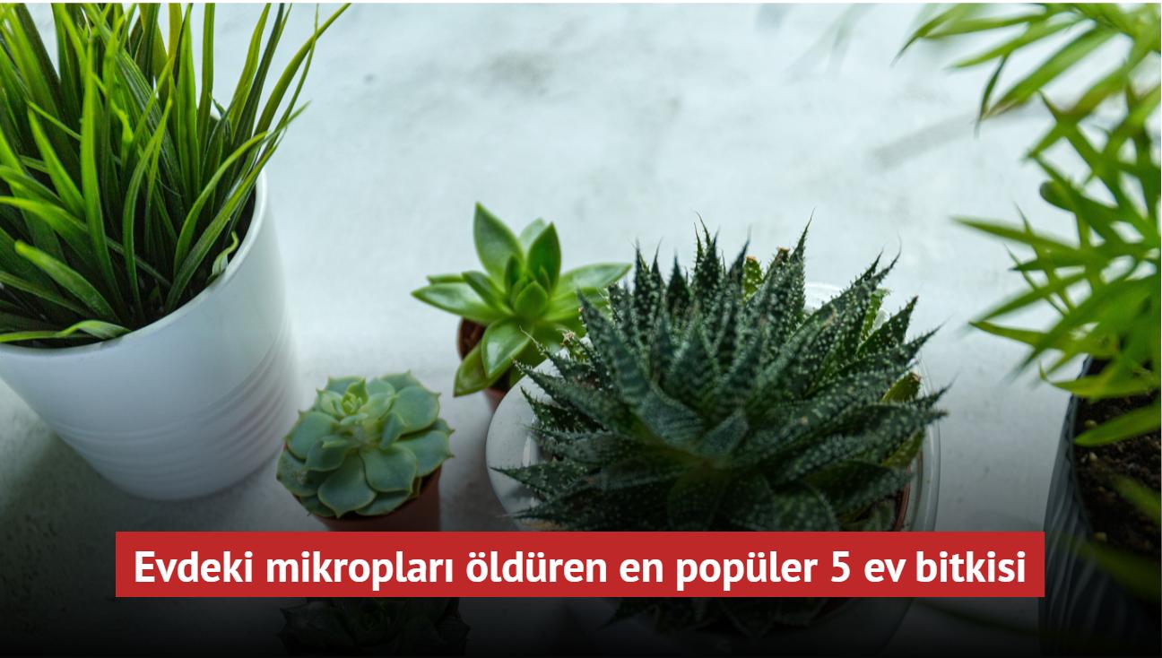 Evdeki mikropları öldüren en popüler 5 ev bitkisi