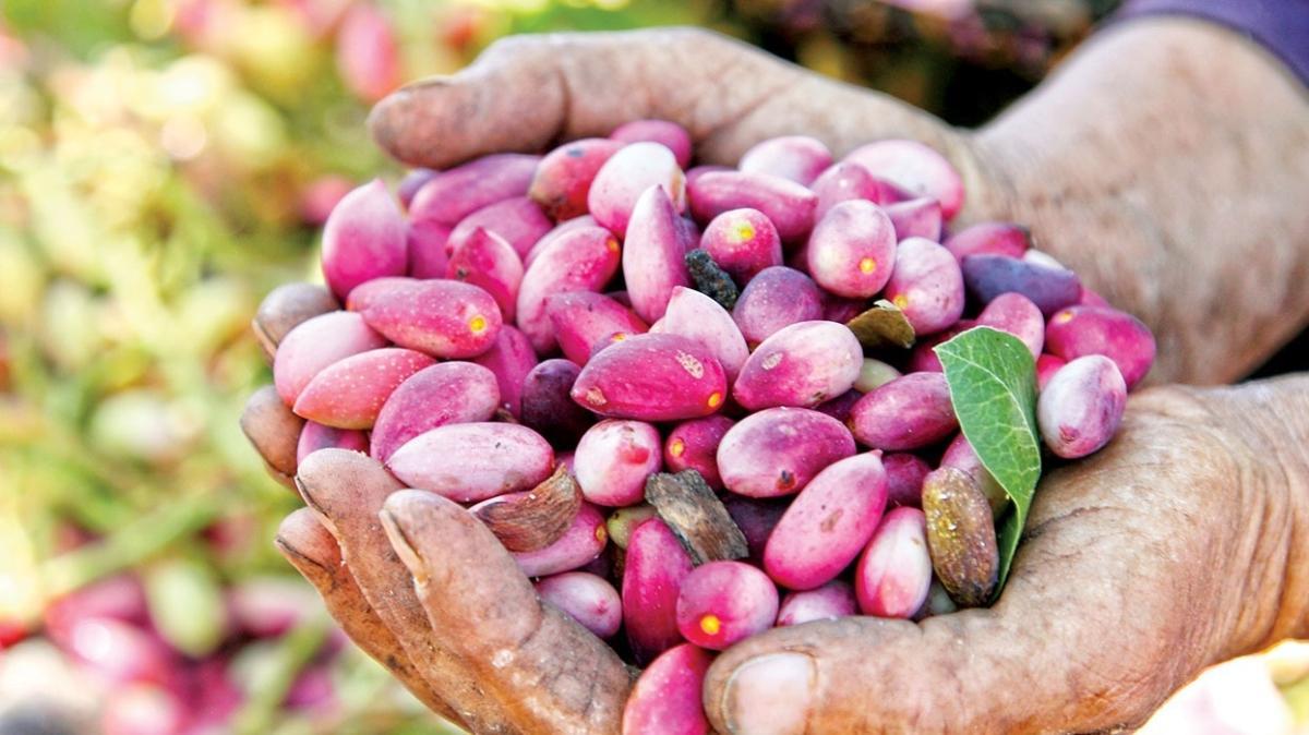 Antep fıstığındaki üretim artışı % 150'ye yaklaştı
