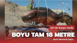 Dev balık kıyıya vurdu: Tam 18 metre