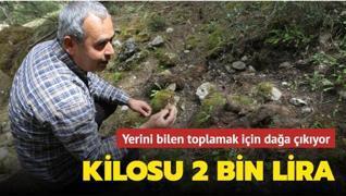 Ormanlık alandan toplanıyor: Kilosu 2 bin lira