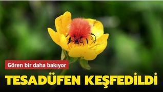 Tesadüfen keşfedilen böceğe 'Kürklü düğün' adı verildi