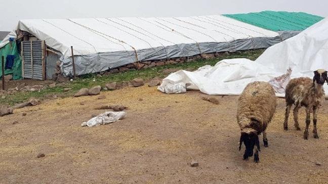 Koyunlar kediyi kurt zannetti: 14 ölü