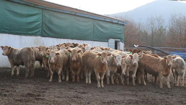 Etin fiyatını yükselten neden: 1 milyon eksik var
