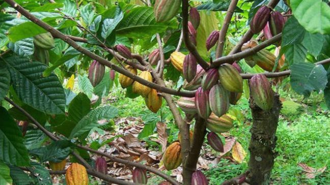 Kakaonun fiyatı yıl başından bu yana yüzde 30'a yakın arttı