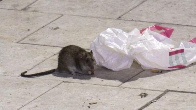 İsveç'de dev fareler şehri bastı