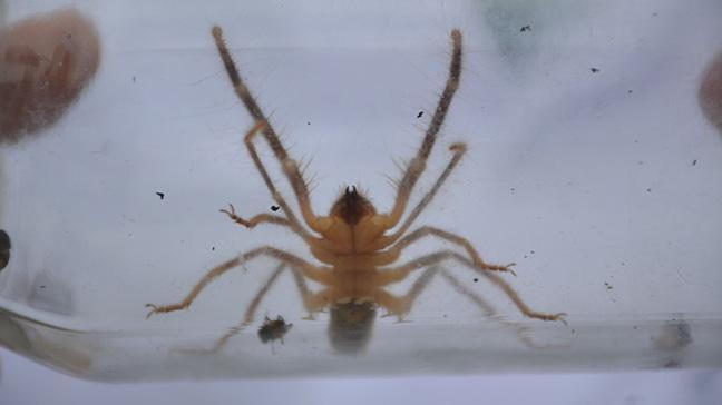 Et yiyen örümcek Bilecik'te ilk defa görüldü