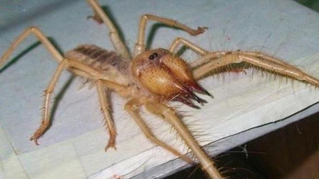 Sarıkız böceği zehirli mi nasıl beslenir Sarıkız örümceği nedir kimlerin etini yer Bodrum'da panik!