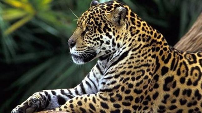 Hindistan'da 6 ayda 90 leopar öldürüldü