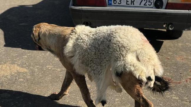 Köpeğe sıcak havada işkence: Kuzu postu giydirdiler
