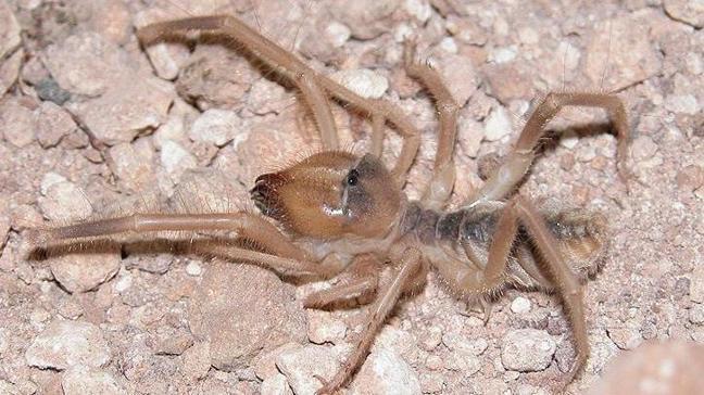 'Et yiyen örümcek' iddiası için 'korkuya gerek yok' açıklaması