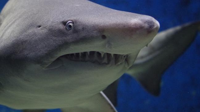 Büyük beyaz köpekbalığının genom haritası çıkarıldı