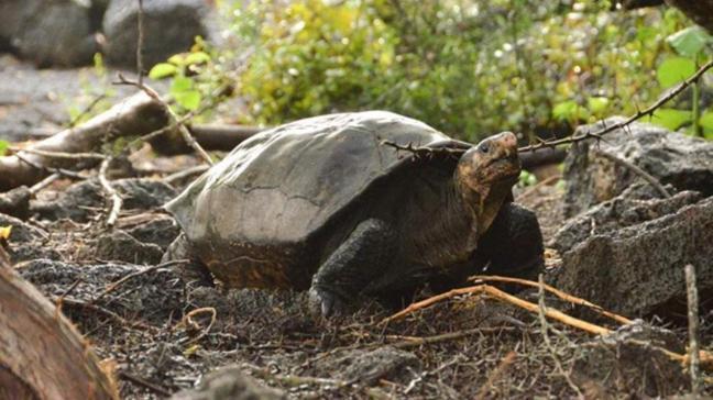 Nesli tükendiği düşünülen Galapagos kaplumbağası, 100 yıl sonra ortaya çıktı