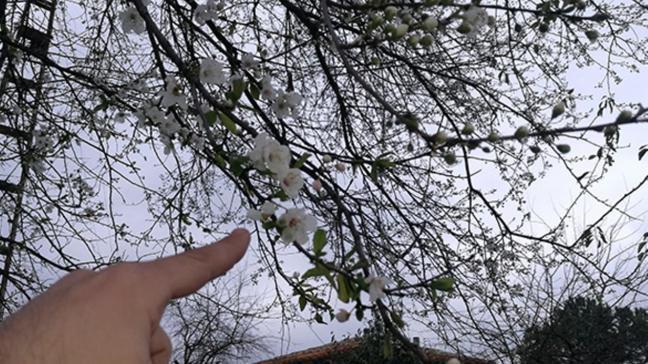 Erik ağaçları kışın çiçek açtı