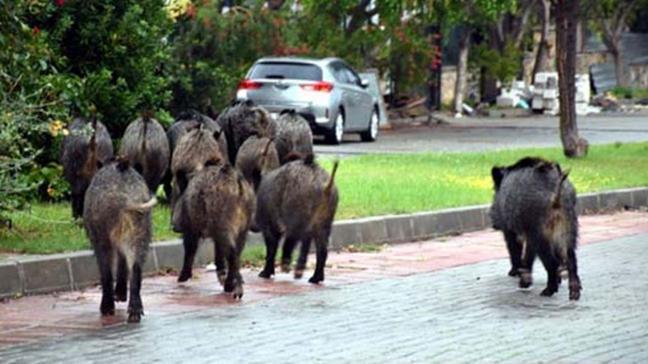 Bodrum'da aç kalan domuzlar ilçe merkezine indi