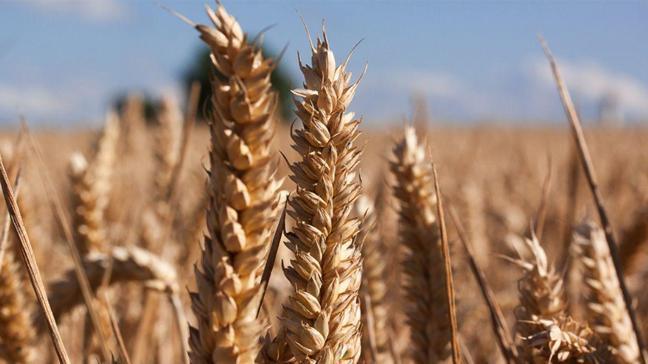 Yeni doğan bebeğinize doğanın armağanı: Buğday ruşeymi