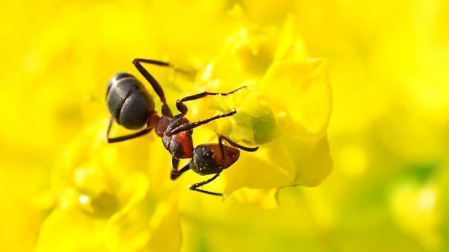 Rüyada karınca istilası bereket anlamına geliyor!