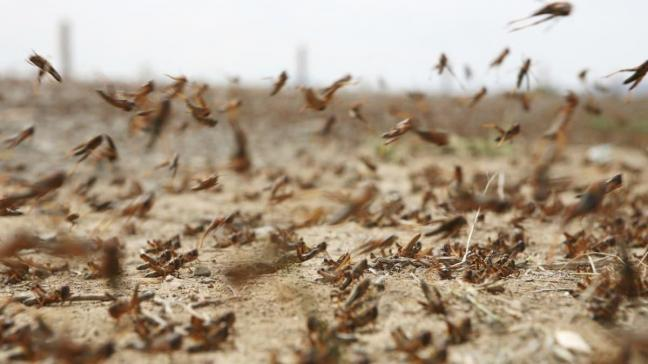 Çekirge istilası 25 milyon insanın hayatını tehdit ediyor