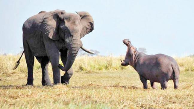 Güney Afrika Cumhuriyeti'nde su aygırı ve filler menüye girecek
