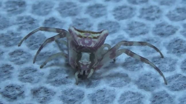 Edirne'de son günlerde artış gösteren insan yüzlü örümcekler herkesi şaşırtıyor