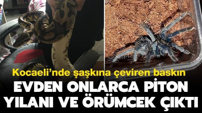 Son dakika haberleri... Kocaeli'nde şaşkına çeviren baskın: Evden onlarca piton yılanı ve örümcek çıktı