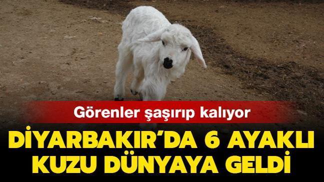 Görenler şaşırıp kalıyor: Diyarbakır'da 6 ayaklı kuzu dünyaya geldi