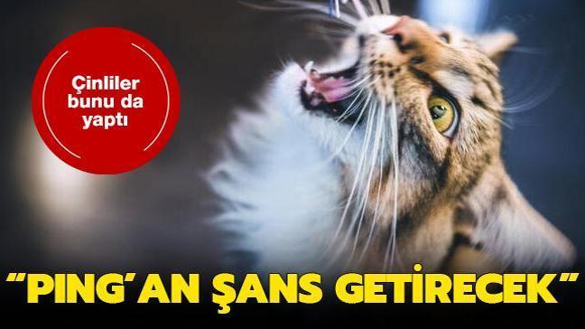 Çinliler orman kedisini klonladı