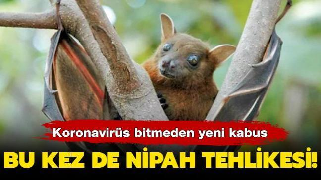 Bu kez de Nipah tehlikesi!