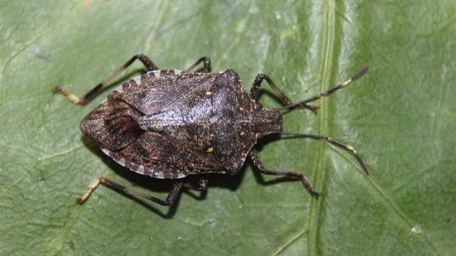 Türkiye ormanlarına 650 bin böcek üretilecek