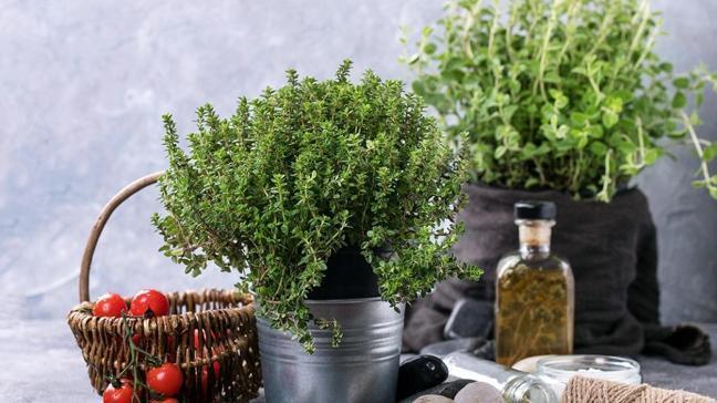 Evde yetiştirilen virüs düşmanı bitkiler