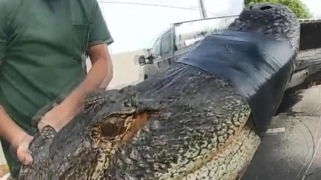 ABD'de bir otoparktan 3 metrelik timsah çıktı
