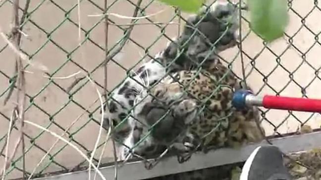 Hindistan'da leopar saldırısı: 1 kişinin yüzü parçalandı