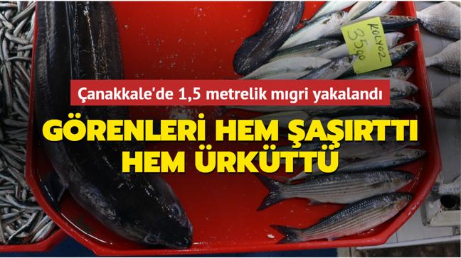 Görenler hem şaşırdı hem ürktü: Çanakkale'de 1,5 metrelik mıgri yakalandı