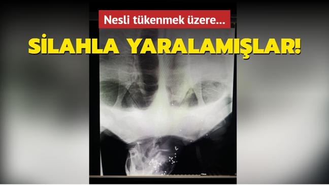 İzmir'de nesli tükenmekte olan kaplumbağanın silahla vurulduğu belirlendi!