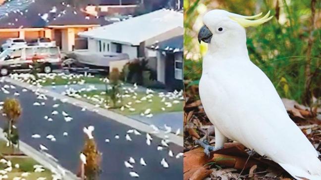 Kasabayı kakadu papağanları bastı