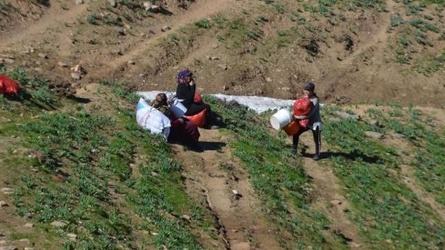 Terörden temizlenen dağlarda vatandaşlar pancar topladı