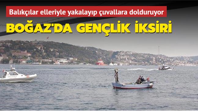 Balıkçılar elleriyle yakalayıp çuvallara dolduruyor: Boğaz'da gençlik iksiri